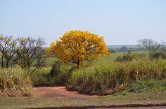 Ipê amarelo destaca-se na paisagem rural de Matão, estado de São Paulo, Brasil.  Fotografia: Branco Trevizaneli.