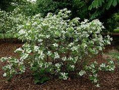 "aronia ""Morton""  berries, autumn colour 2m x 2m partial shade"