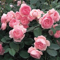 from - ROSA GEOFF HAMILTON David Austin bred. This clear pink shrub rose is a repeat flowerer and the rosette blooms have an old rose fragrance with a hint of apple and say it is exceptionally disease resistant. Image from David Austin website