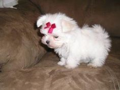 Pictures of  MALTESE PUPPIES FOR SALE