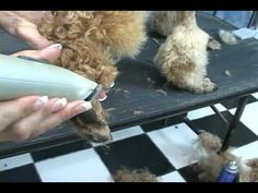 How to groom a poodle. Poodle grooming at www.howtogroom.net