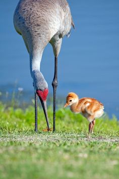 Sandhill crane chick waits for food