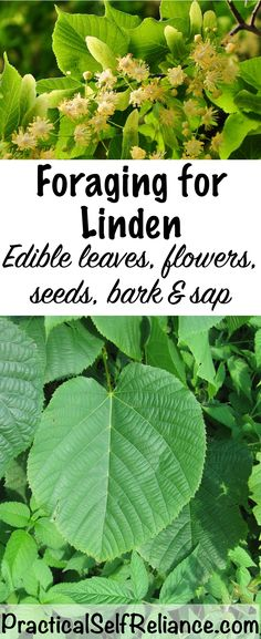 Foraging for Linden - so many uses!! Flour, chocolate, coffee!!!