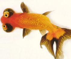 Goldfish - Celestial