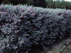 Texas Sage - Great and hearty shrub that grows 3 to 8 feet high. For chain link fence? Privacy Hedges Fast Growing, Fast Growing Hedge, Shrubs For Privacy, Privacy Landscaping, Privacy Trees, Landscaping Ideas, Evergreen Shrubs, Trees And Shrubs, Flowering Bushes