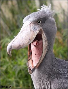 Shoebill stork, it emits a sound that no man can hear, it resonates only in the ears of the damned.