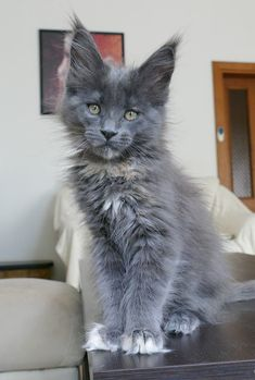 PRETTY LITTLE GRAY MAINE COON BABY♥