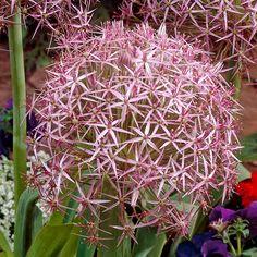 Lilac, Purple, Allium, Large Flowers, Star Shape, Growing Plants, Potted Plants, Bulbs, Dutch