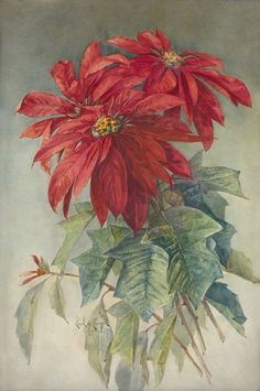 Pointsettias / Watercolor By Paul de Longpre c.1908