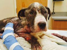 """LYANN is an approx 2 year old Pitbull who is emaciated & suffering beyond belief. She entered the NYC ACC as a """"stray"""" this past Sunday. She was apparently left outside the shelter, so weak she was unable to stand or walk. She smelled horrible from her awful, infected skin & is covered in open..."""