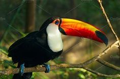 Toucan Ramphastos toco is sitting on the branch - Animals