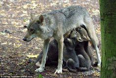 英国南東部オックスフォードシャーにあるコッツウォルド・ワイルドライフ・パークでは ヨーロッパオオカミのエンバーちゃんが 赤ちゃんを出産しました。