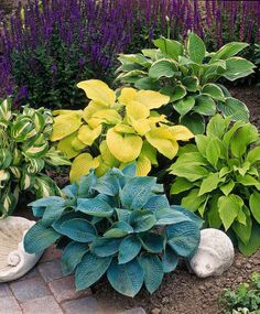 How to Grow Hosta. An ideal foliage plant for shady areas, hosta grows well under deciduous trees, in borders, and as a ground cover. Garden Shrubs, Shade Garden, Lawn And Garden, Garden Plants, Landscaping Plants, Hosta Plants, Foliage Plants, Shade Plants, Deciduous Trees