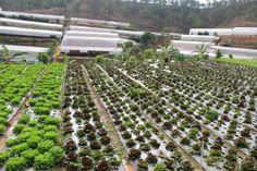 Vườn rau salaviet chuẩn bị thu hoạch