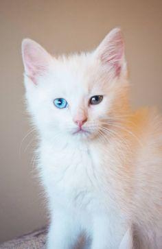 Odd-eye kitten