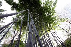 Phyllostachys nigra Phyllostachys Nigra, Bamboo Species, Black Bamboo, Survival, Photo And Video, World, Plants, Grasses, Bamboo