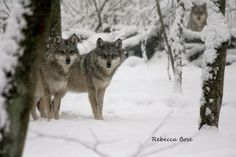 #mexican #grey #wolves