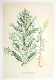 Russian Pigweed Botanical Print 1923 Green Plant Vintage Art Print, Spring Gift Idea for Home, Cottage Garden Plant Herb, Mothers Day Gift by OldMapsandPrints on Etsy