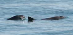 The vaquita porpoise is one of the most rare and endangered porpoises in the world. And it's disappearing faster than we thought. According to a report from the International Committee for the Reco...