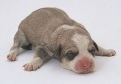 64 Best Puppies Images On Pinterest Cubs Newborn Puppies And Baby