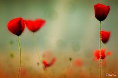 Poppy-2... - Gelincik Çiçeği.. Makro..