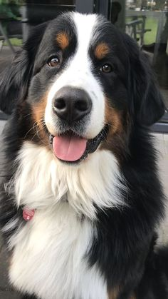 Excellent Free bernese mountain dogs big Thoughts For more than decades, your Bernese Huge batch Doggy is a basis of village life around Switzerland. Animals And Pets, Baby Animals, Funny Animals, Cute Animals, Cute Baby Dogs, Cute Dogs And Puppies, Doggies, Beautiful Dogs, Animals Beautiful