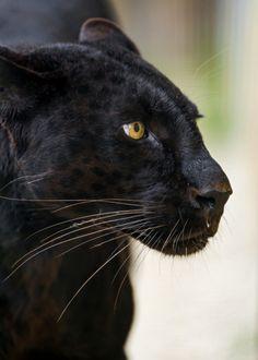 "bigcatkingdom: "" Blackys profile by Tambako The Jaguar Via Flickr: """