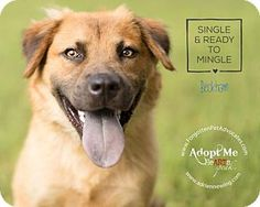 Golden Retriever/German Shepherd Dog Mix Dog for adoption in Pearland, Texas - Beckham