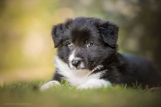 I'm a dog lover since I was a child spending a lot of time with my granfather's dogs, and three years ago I also started to take photos of them, and now dogs photography is my greatest hobby and sometimes also a job. About two months ago I came to visit a Border Collie's breeder, Erica, to take pics of a 45 days old litter. She is a wonderful breeder, she really looks after them with lot of love and care.