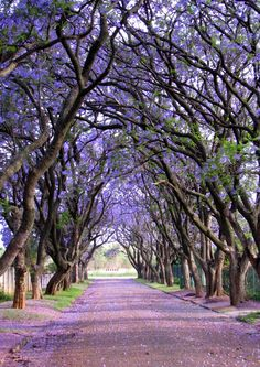 #L.A.'s Jacarandas, with their violet flowers. They also grow in South Africa   Elizabeth Kendall