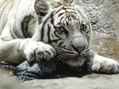 #orlando #disney #whitetiger #tigrebranco