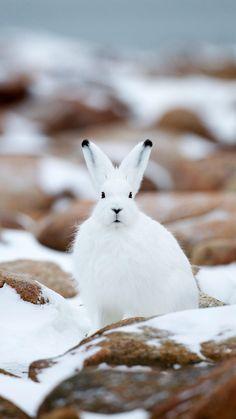 Arctic hare (Snowshoe Rabbit or Lepus americanus) Animals And Pets, Baby Animals, Cute Animals, Rabbit Pictures, Animal Pictures, Beautiful Creatures, Animals Beautiful, Snowshoe Hare, Arctic Hare