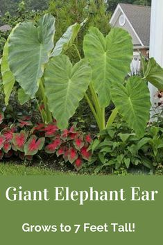 They look their best during the summer, and another great benefit is they are deer resistant. #ad #garden #gardening #elephantears #deerresistantflowers