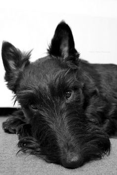 Scottie love, keeping a watchful eye !
