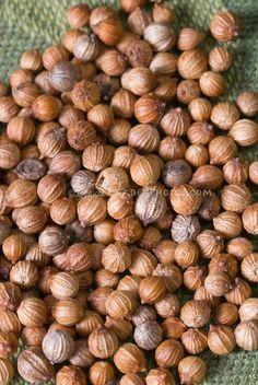 Coriander Seed (Coriandrum sativum)