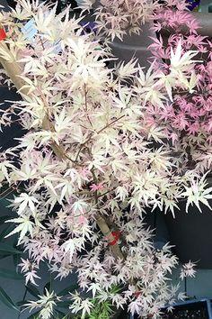 Japanese Maple Varieties, Japanese Maple Garden, Japanese Garden Landscape, Japanese Tree, Bonsai Garden, Garden Trees, Garden Plants, Acer Trees, Bonsai Tree Care