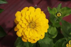 Zinnia Yellow:  Use 'Zinnias' in mixed plantings or in cottagge gardens. Dwarf types make great edging plants and can be used in containers. The flowers attract Hummingbirds and Butterflies.