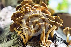 Fungus Armillaria mellea in the mixed forest