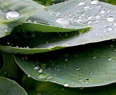 Blue hostas in the rain