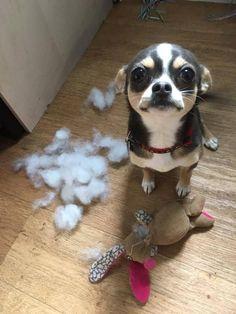 Who? Me?                                                                                                                                                                                 More #Chihuahua