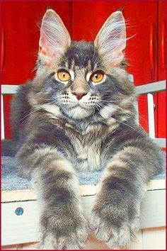 Click to find out where to adopt (Free) Maine Coon Kittens in your area and bring them into your loving home. Check out our tips to ensure you find your Maine Coon safely and from the recommended locations!