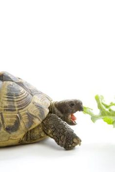 How to Plant a Tortoise Garden