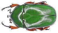 Αποτέλεσμα εικόνας για scarab beetles
