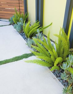 Foxtail ferns and blue chalk sticks, a succulent, with thyme that makes for a fragrant accent between the pavers.