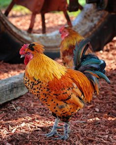 One handsome Rooster!