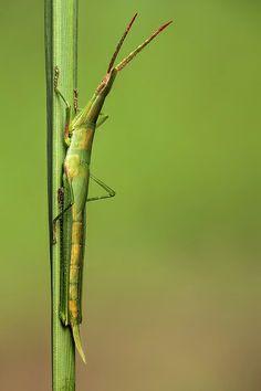 ˚Stick grasshopper