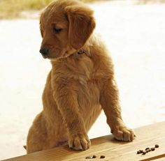 Cooper the Golden Retriever - The Daily Puppy