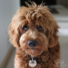 """From @franky.dood: """"So how about that treat? #goldendoodle"""" #cutepetclub by: @cutepetclub"""
