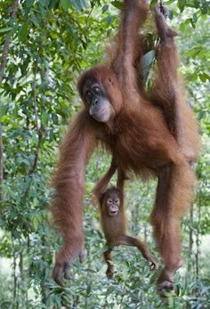 A baby orangutan clungs to her mother as they swung through the treetops in Indonesia. Picture: SOLENT