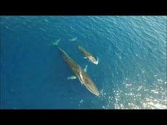 El ejemplar de rorcual común y su cría localizados en la Costa del Garraf